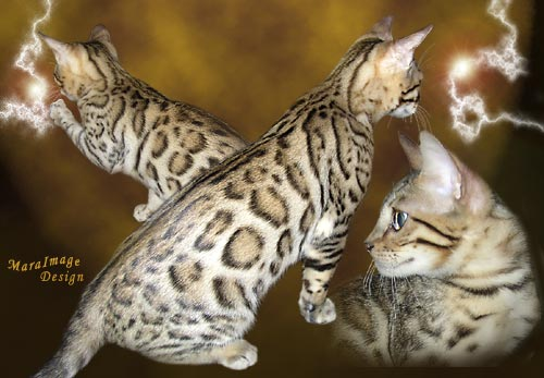 Legacie Bengal Cats And Bengal Kittens For Sale Illinois Illinois Bengals Illinois Bengal